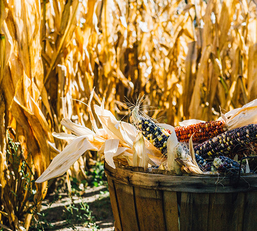 Wooden bucket filled with colorful corn next to corn field