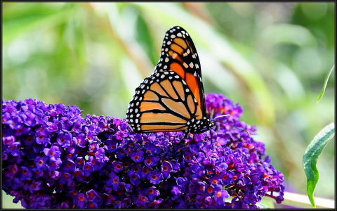 Orange and black monarch butterfly perched on purple blossoms