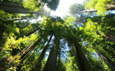 Towering redwood trees