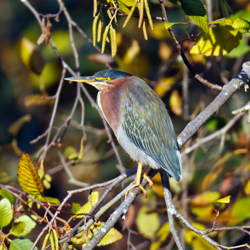 green heron bird