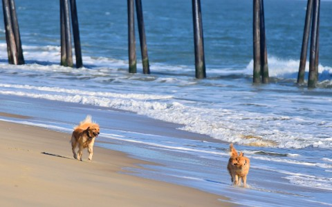2 golden retrievers running along ocean shore