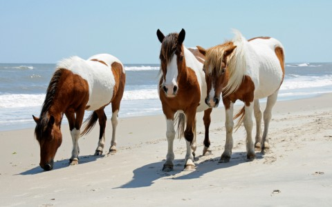 wild ponies walking beach at assateague island
