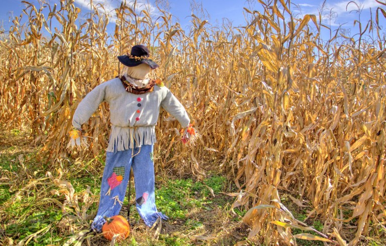 Scarecrow on cornfield