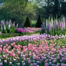 Yard full of pink & purple tulips