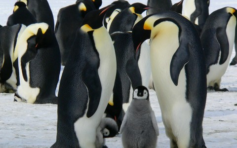 Baby emporer penguin flanked by parents with many other penguins in background