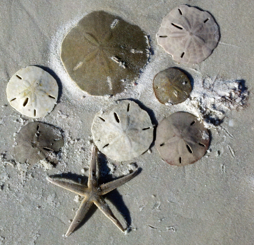 sand dollars and a starfish in the sand