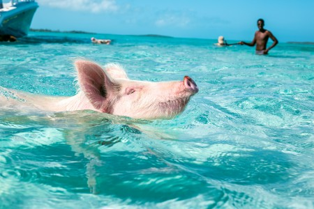 a pink pig swimming in the ocean