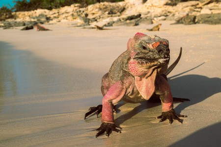 an iguana walking on the sand next to the ocean
