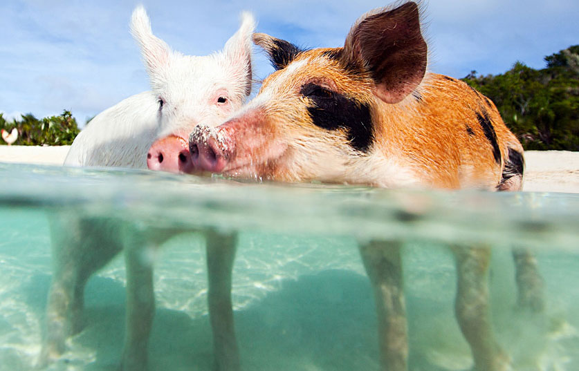 Swimming with the Pigs Package