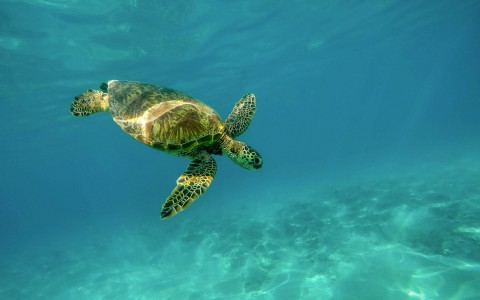 Sea turtle swimming under water