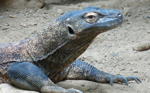 Blue Komodo Dragon
