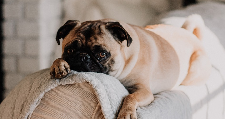 pug dog laying on the top of a sofa