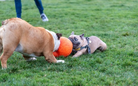 two dogs playing with big orange ball in grass