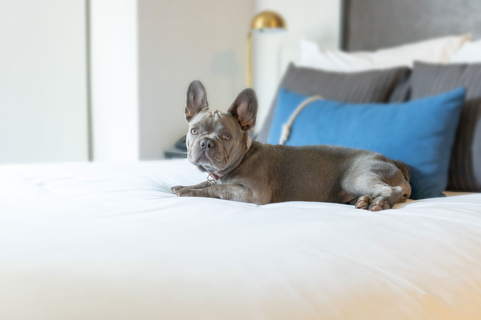 harbor court french bulldog on bed