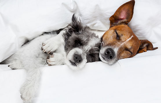 two dogs cuddling in white sheets
