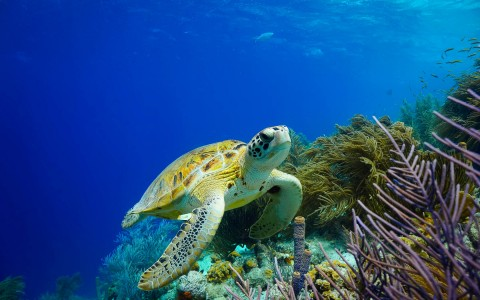sea turtle near coral reef
