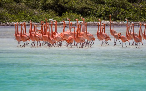 flock of flamingos in shallow water