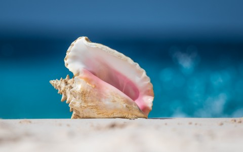 conch shell with water in the background