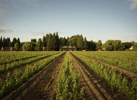 rows of the vineyard with harvest inn in the background