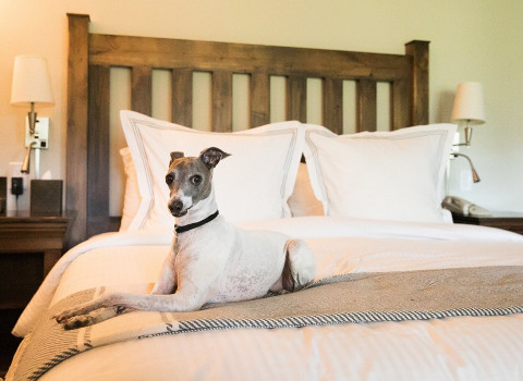 italian greyhound laying on a crisp white bed