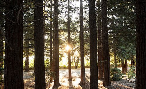 Sun shining through tall trees in woods
