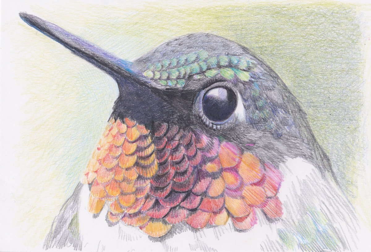 meyer devon hummingbird feathers colored pencil 6x8 150