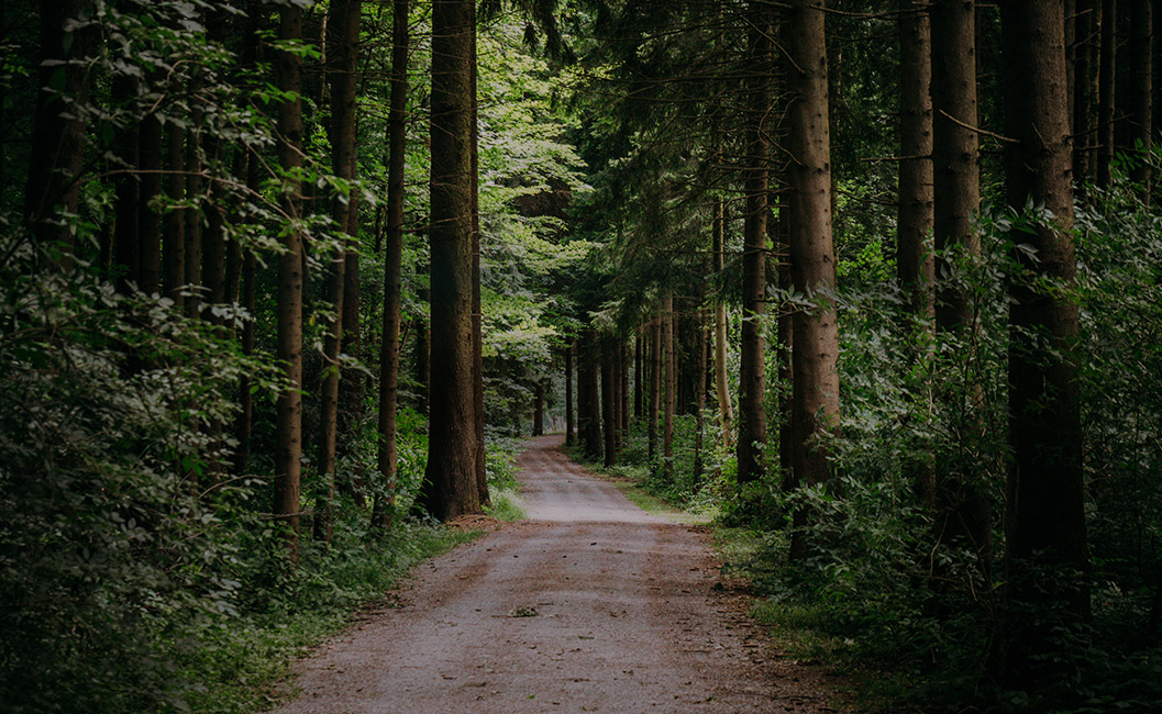 forest with tall trees and a wide pathway