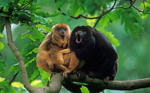 Search for the Black Howler Monkey in Belize