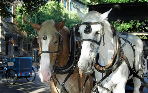 2 carriage horses