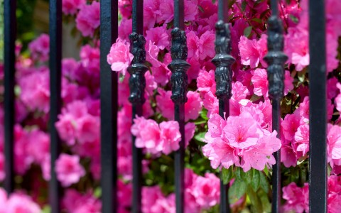 fuchsia flowers poke through rod iron fence