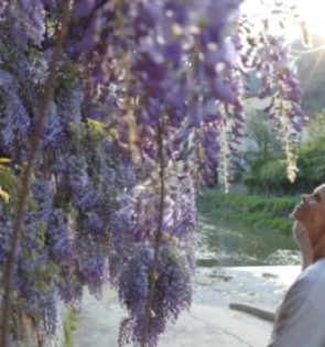 woman enjoys wisteria plant in sunlight copy