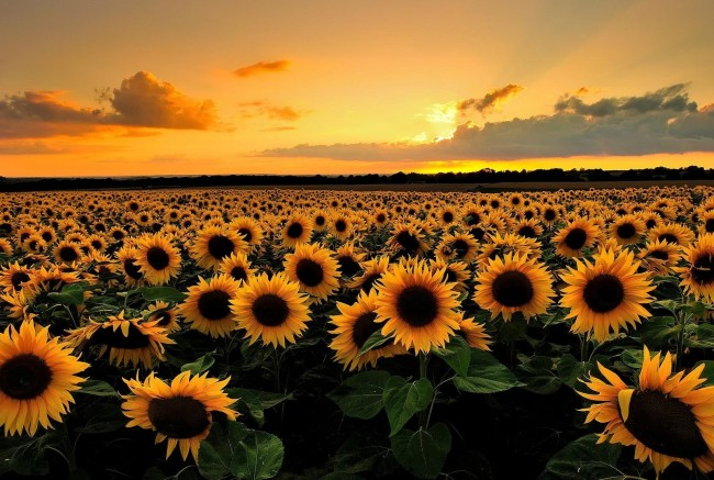 Sunflowers-57ddb2c2326f1.jpg