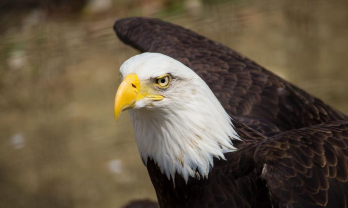 Close up of american bald eagle with white head and brown feathers