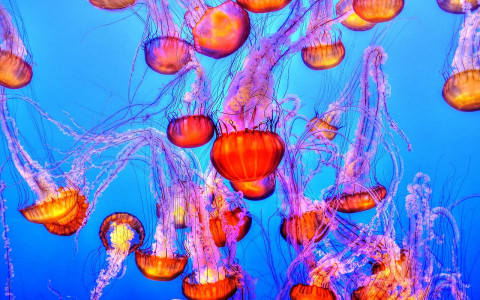 Bright red orange jellyfish