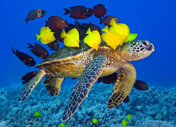 sea turtle with tropical fish