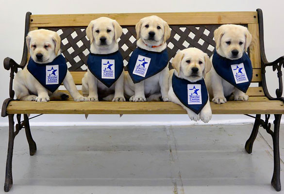 five cute labrador puppies on a bench