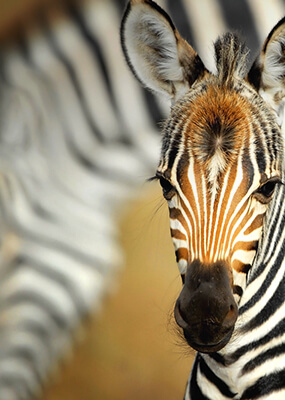 Close up of baby zebra with some brown stripes on face