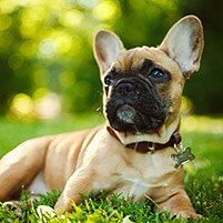 french bulldog laying in green grass