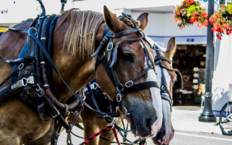 a team of horses on mackinac island