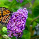 Make Reservations Now for the Annual Lilac Festival