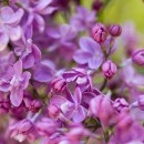 The Lilac Festival Takes Over Mackinac