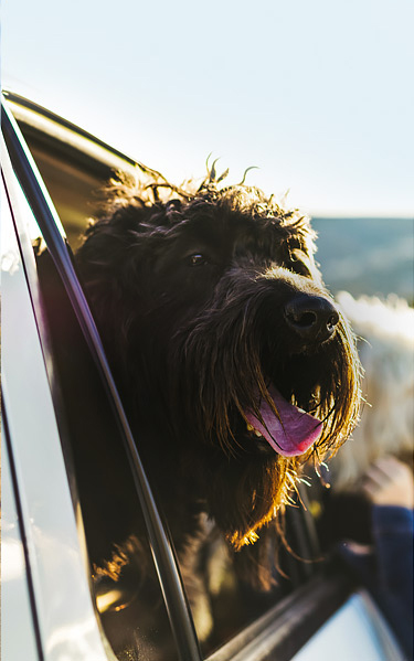 dog sticking head outside car window