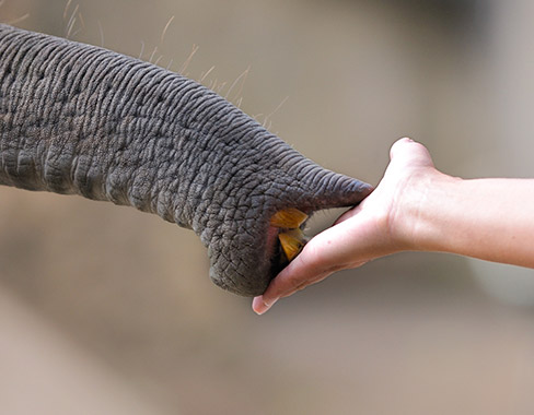 person holding out their hand to an elephants trunk