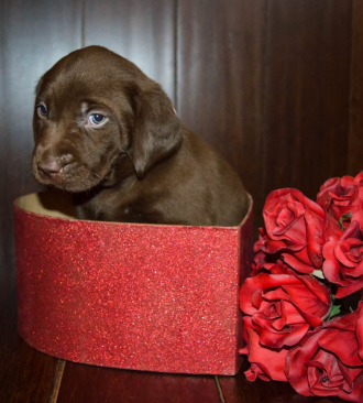 chocolate lab puppy in a heart shaped box next to red roses