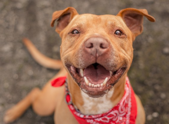 a dog wearing a red bandana smiling