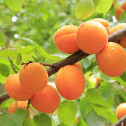 Apricots in an apricot tree orange fruit in a green tree