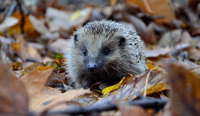 hedgehog on forest floor covered in leaves