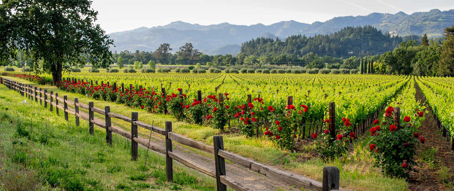 Large vineyard with rose bushes at the end of the row