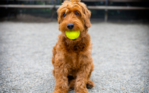 Young brown sitting down dog with yellow tennis ball in it's mouth