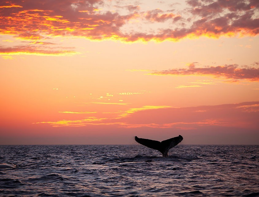 whale's fin sticking out of the water at sunset